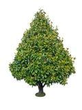 Dekorativt träd för magnolia Royaltyfria Bilder