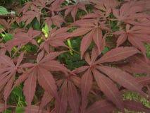 Dekorativt träd för röd hessei för bladAcer palmatum i botaniska trädgården royaltyfria foton