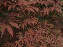 Dekorativt träd för röd hessei för bladAcer palmatum i botaniska trädgården arkivbilder