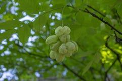 Dekorativt träd för Staphylea emodi med gröna frukter som hänger på filialer royaltyfri bild