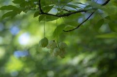 Dekorativt träd för Staphylea emodi med gröna frukter som hänger på filialer royaltyfri foto