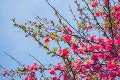 Dekorativt träd med röda blommor Arkivfoton