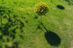 Dekorativt träd på en grön gräsmatta Fotografering för Bildbyråer