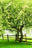Dekorativt vårblomningträd Royaltyfria Foton