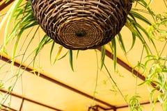 Dekoren av verandan av kafét är korgar av vävde pilfilialer med en blomma av chlorophytumen royaltyfri fotografi
