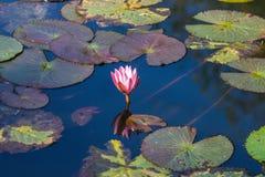 dekorera det trädgårds- damm för fritidlooklotusblomma Fotografering för Bildbyråer