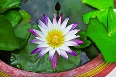 dekorera det trädgårds- damm för fritidlooklotusblomma Arkivfoton