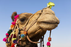 Dekorerad kamel på ökenfestivalen arkivfoto