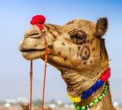 Dekorerad kamel på den Pushkar mässan Rajasthan Indien arkivbilder