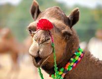 Dekorerad kamel på den Pushkar mässan Rajasthan Indien royaltyfria foton