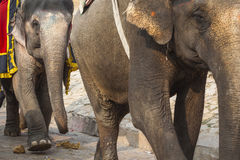 Dekorerade elefanter i Jaleb Chowk i Amber Fort i Jaipur, Indi Arkivbild