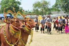 Dekorerade tjurar på det Madura tjurloppet, Indonesien Royaltyfria Bilder