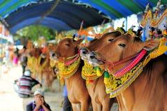 Dekorerade tjurar på det Madura tjurloppet, Indonesien Royaltyfri Foto