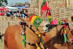 Dekorerade tjurar på det Madura tjurloppet, Indonesien Royaltyfri Fotografi