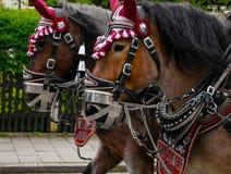 Dekorerat Paulaner hästlag på en ståta i Garmisch-Partenkirchen, Garmisch-Partenkirchen, Tyskland - Maj 20 royaltyfri foto
