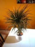 Dekorująca roślina na stole Obraz Royalty Free