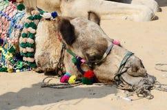 Dekorujący kierowniczy plemienny koczownika wielbłąd, Rajasthan, India fotografia royalty free