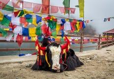 Dekorujący yak zwierzęta blisko Changu jeziora Sikkim zdjęcia stock