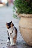Dekorujący kot Obrazy Royalty Free