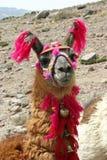 dekorujący lama Obraz Royalty Free