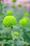 ¼ del ï del crisantemo che ˆfeeling il ‰ verde del ¼ del darkï Fotografia Stock