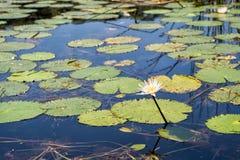 Del agua fondo lilly Fotografía de archivo