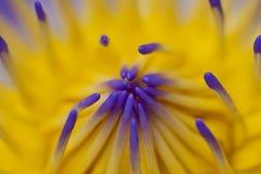 Del agua macro púrpura lilly Imagen de archivo libre de regalías