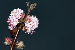 ` Del amanecer del ` del bodnantense del Viburnum x Imágenes de archivo libres de regalías