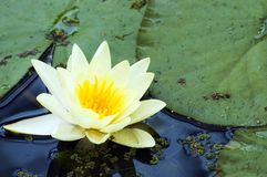 Del amarillo loto blanco waterlily Imagen de archivo libre de regalías