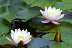 Del amarillo loto blanco waterlily Fotografía de archivo