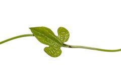Del Aristolochia del pothieri ex Lecomte hoja de Pierre Foto de archivo libre de regalías