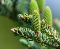 Del av barrträdet på rätsidan av bilden fotografering för bildbyråer