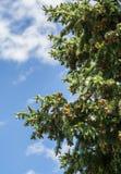 Del av barrträdet på rätsidan av bilden royaltyfri bild