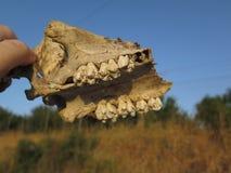 Del av den djura skallen Royaltyfri Fotografi