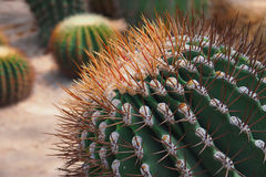 Del av den gröna kaktuns Arkivbild