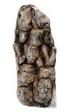 Del av det torkade cederträskället Royaltyfri Fotografi