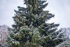 Del av en grön julgran med orange kottar i snön, närbild Arkivfoto