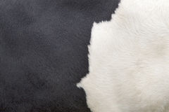 Del av skinnet av den svartvita kon Arkivfoton