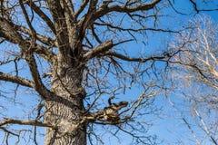 Del av stammen och filialer av den torra eken mot den blåa himlen, abstrakt bakgrund Arkivbilder