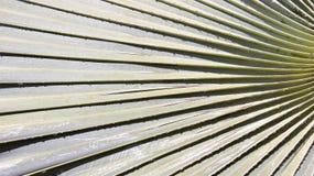 Del azúcar de la hoja de palma naturaleza verdad Imagen de archivo libre de regalías
