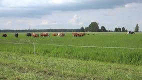 Del bestiame della mandria di mucche del caricare pascolo Automobile sulla strada rurale 4K video d archivio