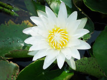 Del blanco agua lilly Fotos de archivo libres de regalías