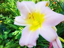Del blanco foto de la macro de la flor lilly fotos de archivo
