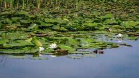Del blanco Nymphaea waterlily alba Imagenes de archivo