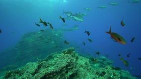 Del Bluefin melampygus del Caranx trevally en la isla de Sanbenedicto del archipiélago de Revillagigedo almacen de metraje de vídeo