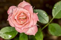 Del brote del rosa de la flor del cierre macro amarilla color de rosa del brote de flor para arriba - Fotos de archivo libres de regalías