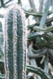 Del cactus cierre verde para arriba Imágenes de archivo libres de regalías