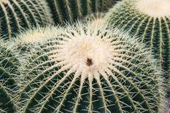 Del cactus de Echinocactus del grusonii cierre para arriba Fotos de archivo