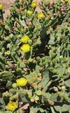 Del cactus maravilloso imagenes de archivo