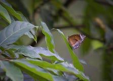 Del campo común mariposa palmfly Fotografía de archivo